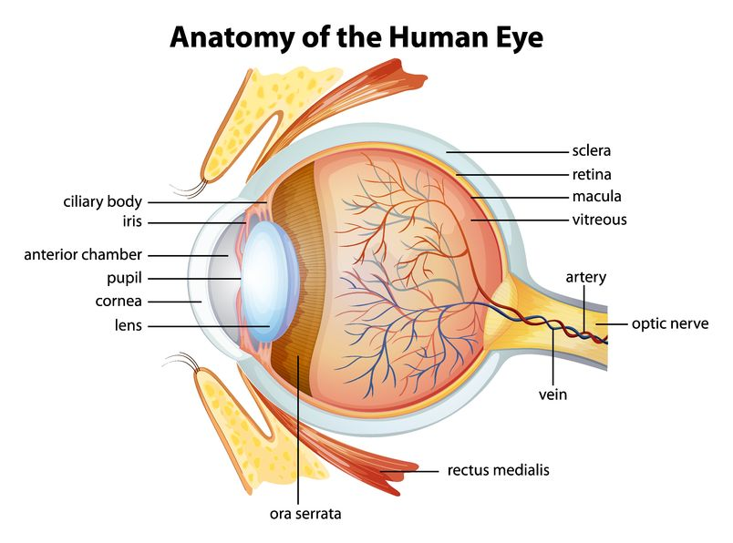 Stuart R. Winthrop, M.D. - Eye Anatomy and Function